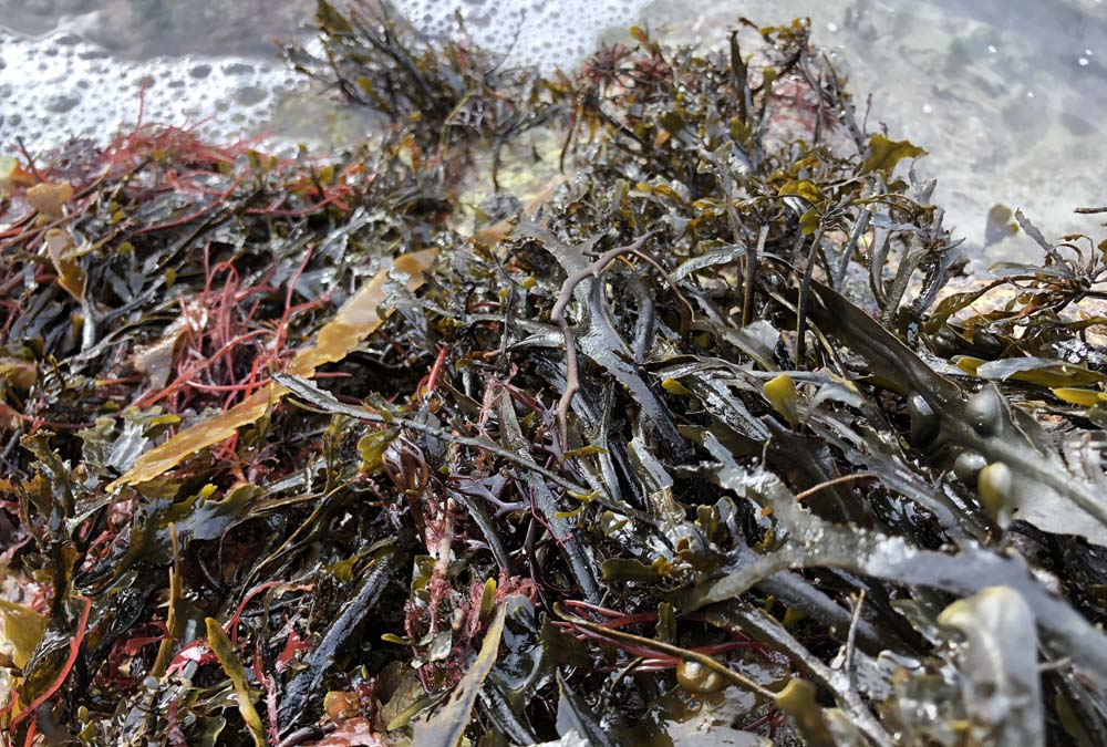 algues-bretonnes-la-marmite-de-lanig
